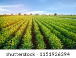 potato plantations grow in the... | Shutterstock . vector #1151926394