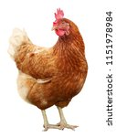 Beautiful Brown Hen Isolated O...