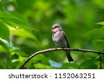 spotted flycatcher sitting and... | Shutterstock . vector #1152063251