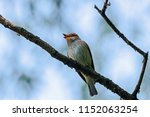 spotted flycatcher sitting and... | Shutterstock . vector #1152063254