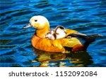Duck with duckling on water. Cute duckling on swimming duck. Duck and duckling in pond