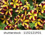 Small photo of Petunia amore queen of fiesta yellow flowers with red stripes