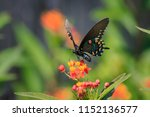 Pipevine Swallowtail Butterfly  ...