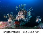 Several Colorful Lionfish...