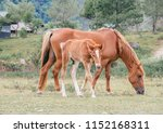 mother horse with foal eating... | Shutterstock . vector #1152168311