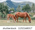 foal with horse mother eating... | Shutterstock . vector #1152168317