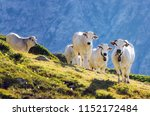 white piedmontese breed cows in ... | Shutterstock . vector #1152172484