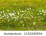 Beautiful marguerites and other wildflowers on flowering mountain meadow in Alps, Austria, peaceful meditation romantic love, concept