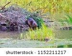 beaver working on beaver lodge   Shutterstock . vector #1152211217