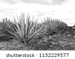 sunset landscape of a tequila... | Shutterstock . vector #1152229577