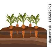 carrots in the garden bed....   Shutterstock .eps vector #1152252401