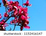 huge vivid ruby red flowers on... | Shutterstock . vector #1152416147