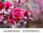 huge vivid ruby red flowers on... | Shutterstock . vector #1152416411