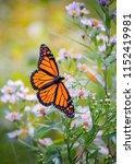 Stock photo monarch butterfly on a flower 1152419981