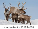 caribou group on pastures in... | Shutterstock . vector #115244359