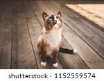Stock photo cute siamese blue eyed cat playing outside on the wooden floor 1152559574