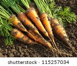 Some Fresh Harvested Carrots On ...
