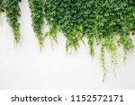 white wall covered with lush... | Shutterstock . vector #1152572171