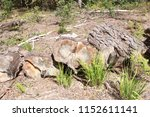 the felled trees in the forest. ... | Shutterstock . vector #1152611141