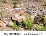 the felled trees in the forest. ... | Shutterstock . vector #1152611147