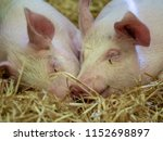 two young pigs are asleep in... | Shutterstock . vector #1152698897
