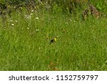 finch a meadow with flowers | Shutterstock . vector #1152759797