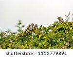 beautiful british birds in the... | Shutterstock . vector #1152779891