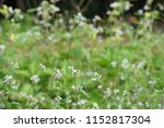 billygoat weed or ageratum... | Shutterstock . vector #1152817304