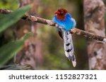the sri lanka blue magpie or... | Shutterstock . vector #1152827321