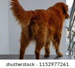 dog canine brown | Shutterstock . vector #1152977261