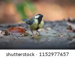 great titmouse in reflection  | Shutterstock . vector #1152977657