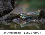great tits in the mirror of the ... | Shutterstock . vector #1152978974