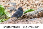 variations in galapagos finches ... | Shutterstock . vector #1152980534