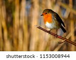 robin perched on a thin branch... | Shutterstock . vector #1153008944