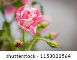 Stock photo red stripe white ivy rose flower blurred background top view soft focus close up 1153022564
