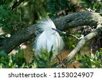 snowy egret in mating plumage... | Shutterstock . vector #1153024907