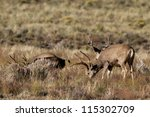 Three Male Mule Deer With Full...