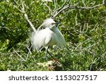 snowy egret in mating plumage... | Shutterstock . vector #1153027517