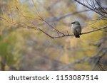 bay winged cowbird | Shutterstock . vector #1153087514