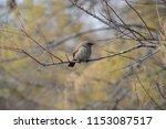bay winged cowbird | Shutterstock . vector #1153087517