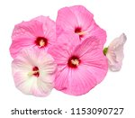 Pink Hibiscus Flowers Isolated...