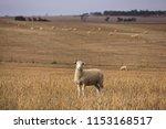 South Australian Sheep And...