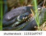grass snakes  natrix natrix ... | Shutterstock . vector #1153169747