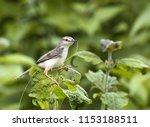 a prinia bird collecting... | Shutterstock . vector #1153188511