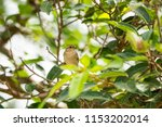 sparrow on the tree  | Shutterstock . vector #1153202014