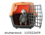 African Grey Parrot  Psittacus...