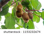Green Kiwis Ripen On A Tree....