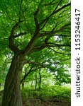 tree in the forest | Shutterstock . vector #1153246417