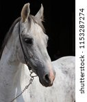 portrait of a white andalusian... | Shutterstock . vector #1153287274