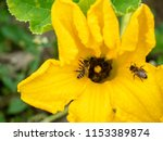 flower of zucchini with bees.... | Shutterstock . vector #1153389874